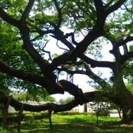 De boom die Simon Bolivar nog heeft gekend