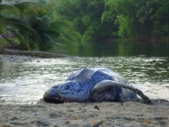 Daar heb je 'em weer; de lederschildpad