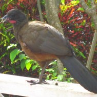 Cocrico, Tobago's national bird