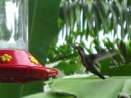 Eén van de vele kolibries