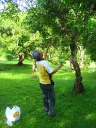 Op mangojacht