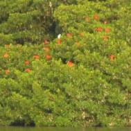 Trinidad's nationale vogel; de Scarlet Ibis. Dat zijn al die rode puntjes ;)