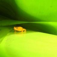 Het gouden kikkertje