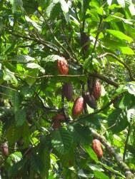 Cacoaplantage