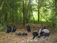 Trompetvogels op Brownsberg