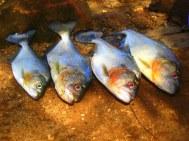Piranha's...