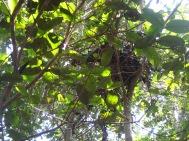 nest wilde chimps