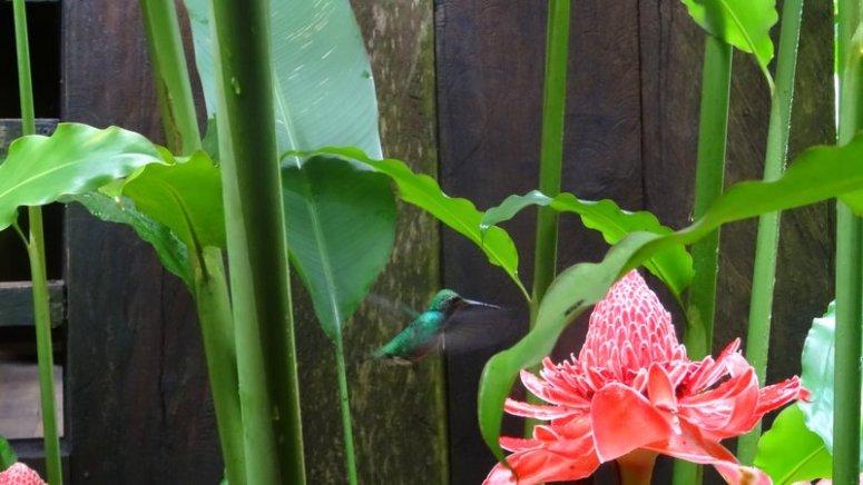 Kolibrie in de tuin Casa Gregorio