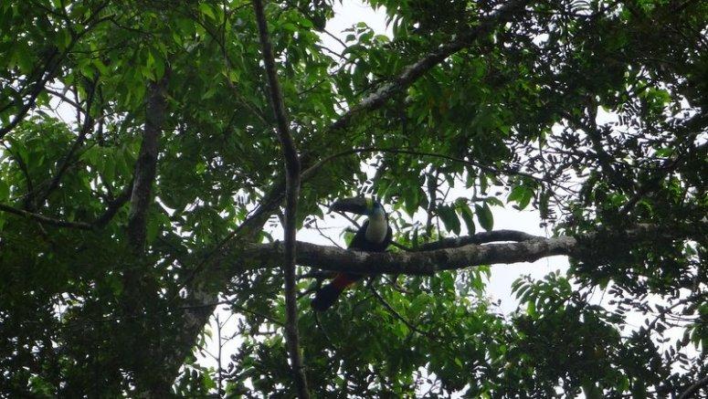 Toekan Amazone San Martin