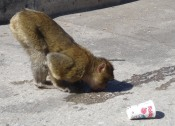 Gibraltar makaken