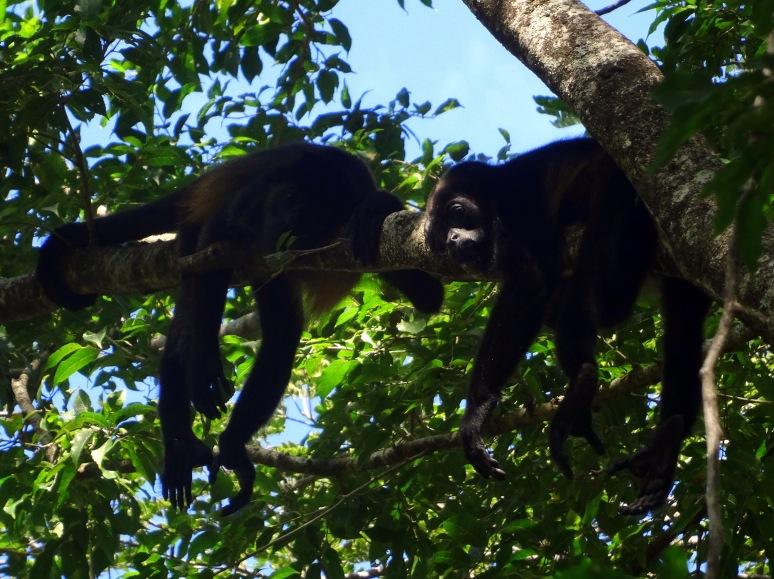 brulapen Costa Rica