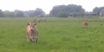 Starende koeien